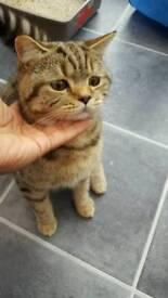 Male British short hair kitten