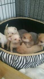 Chihuahua puppies 1 male 5 females