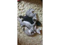Bengal cross kittens £600