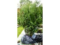 Two 5ft evergreen trees
