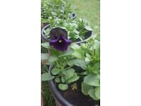Hanging baskets and pots with winter flowering pansy plants