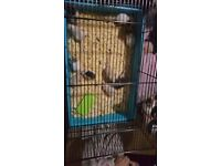 10 Baby Dumbo Cross Rats For Sale