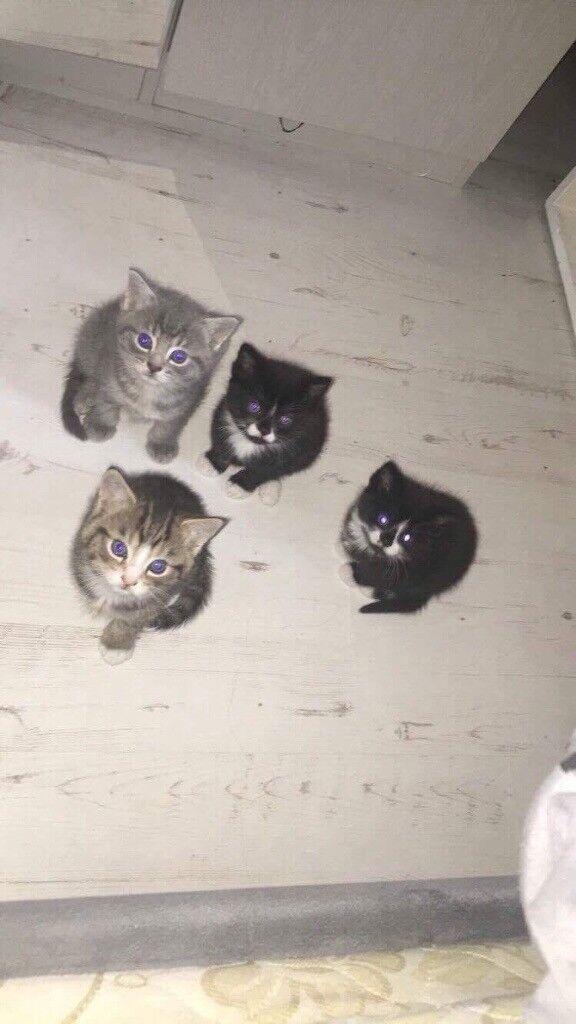Female kitten for sale
