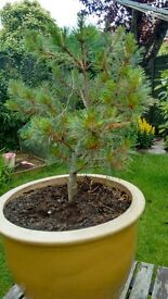 Large terracotta pot and nicely established pine