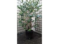 Large Camellia Japonica in Pots