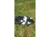 2 adult female rabbits for sale £10 each