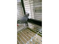 Rehomed one year old congo african grey parrot