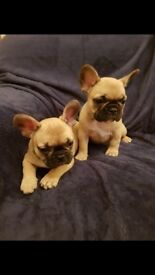 2 quality fawn female frenchies triple Carrier