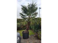 Mature Chinese windmill palm or Chusen palm (Trachycarpus fortunei)