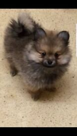Pomeranian puppies 9 wks old ready for new homes
