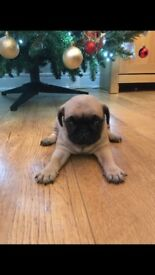 Pug puppy KC reg stunning example from exellent blood lines