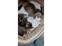 Beautiful kittens for sale. Gorgeous markings. Excellent temperaments.