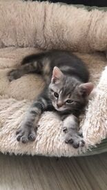 8 week old kitten for sale