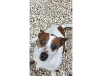 8 year old loving jack rustle looking for a new home