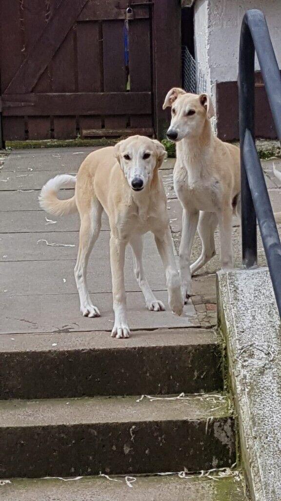 2 X Lurcher Pups In Belfast City Centre Belfast Gumtree
