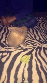 Cute little baby bunny rabbit (grey)