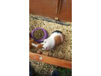 Guinea pigs and hutch