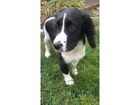 Sprocker puppy for sale