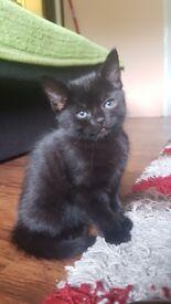 Lovley Black kittens