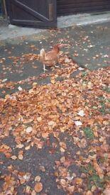 Warren hens