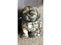 Beautiful Girl, Shih Tzu puppy