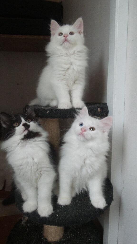 Beautiful Maine Coon X Kittens