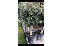 Stunning huge mature olive trees, with plant passports present, £150 each