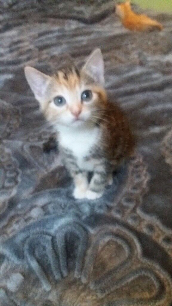 Tabby girl kitten looking for a good home