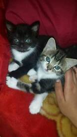 Beautiful, family trained kittens
