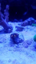 Coral frag