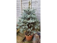 Baby Blue 'picea pungens' potted tree