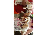 Beautiful beagle puppys