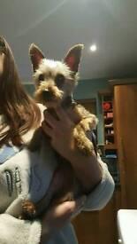 Female Yorkshire terrier
