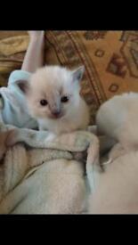 Bluepoint Ragdoll kittens