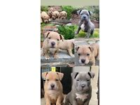 American bully pups ready for new home ABKC papers at hand