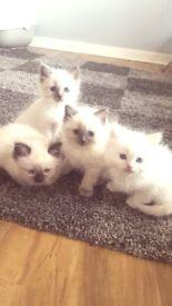 8 week old ragdoll kittens