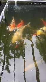 "Pond Clearance - variety of Koi from 10"" - 16"" and pond filtration equipment up for grabs."