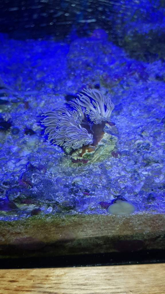 Pulsing xenia soft coral frag