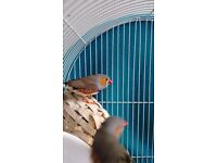 Two male finches for adoption