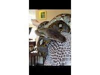 Dwarf retic python male