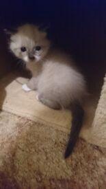 kittens Ragdoll