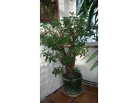 Mature MEDIUM money tree house plant Crassula ovata