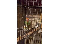Pair of cockatiels for sale including cage and toys