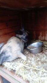 2 female rabbits lop x