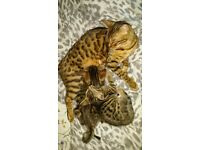 Bengal kittens for sale (ready to go)