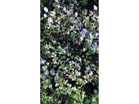 Anemone blanda- Windflower