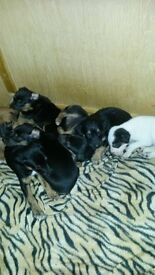lurcher puppys for sale two girls now ready to go to good homes mum and dad can be seen