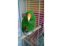 Eclectus Male Parrot