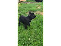 French bulldog boy puppy