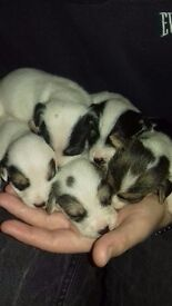 4 boys, 1 girl Jack Russell puppies for sale £200 each.